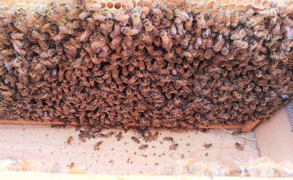 交配蜂3枚群