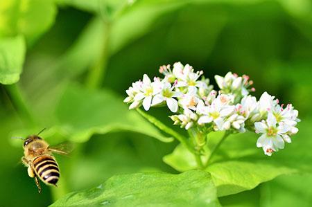 そばの花とミツバチ
