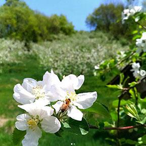 リンゴの花にとまるミツバチ