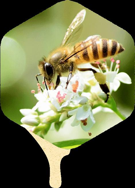 西洋ミツバチとそばの花